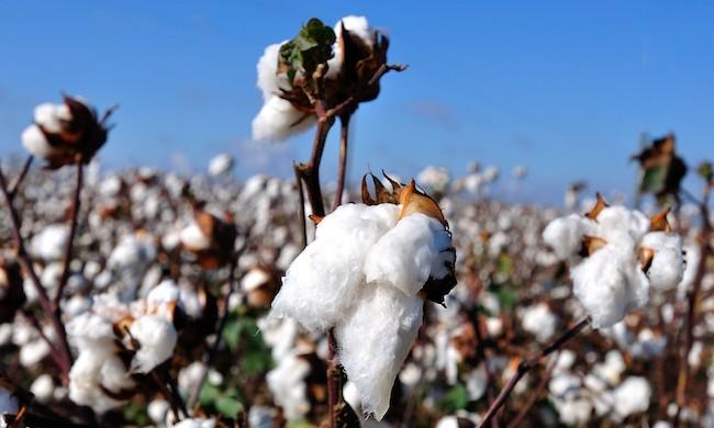L'origine naturelle du coton : la fleur de coton