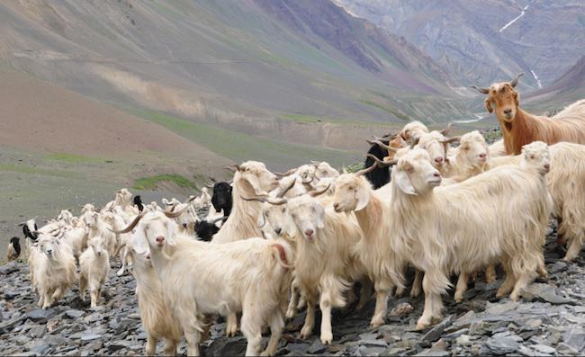 Chèvres à l'origine du cachemire