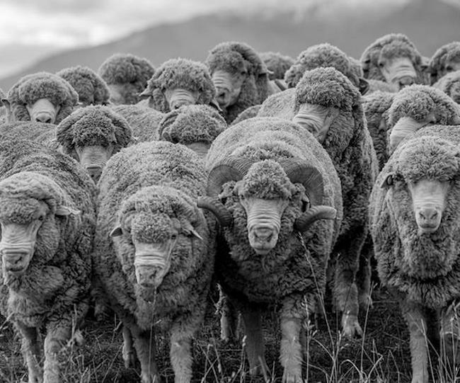 Le mouton mérinos est une race de moutons qui produit une laine extrêmement fine