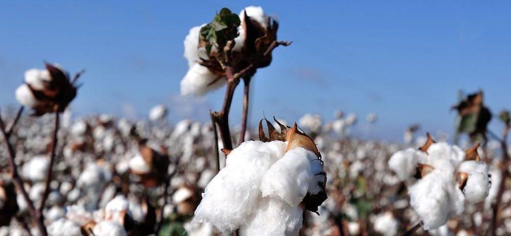 Champ de coton biologique - Certification GOTS