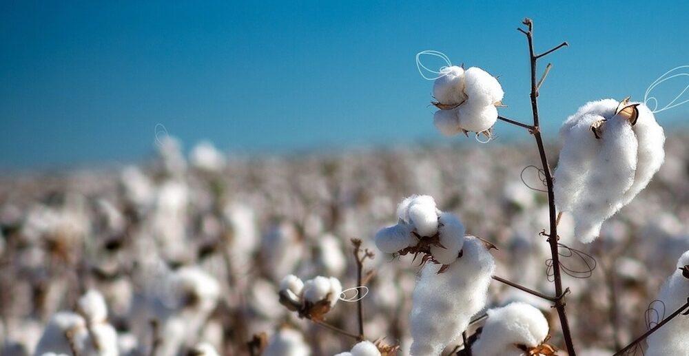 Fleurs de coton bio